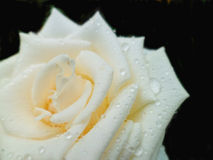 Rose with raindrops. On black background close-up macro Stock Photography