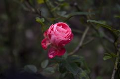 Rose with raindrops stock image