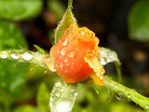Rose Raindrops de bourgeonnement image libre de droits
