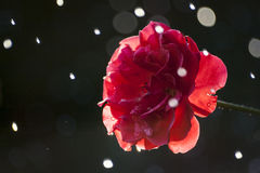Rose & Raindrops. Just a summer rain in the garden royalty free stock images
