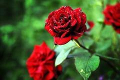 Rose. Raindrops on a red velvet rose in the garden Royalty Free Stock Photo