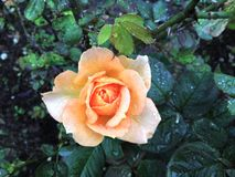 Rose with raindrops. A yellow rose blooming with raindrops in the Chian Kali-shel Shihlin Resistance Park Royalty Free Stock Photography