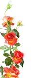Rose ram royaltyfria foton