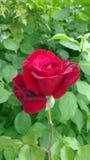 Rose rampicanti di Don Juan Fotografie Stock Libere da Diritti