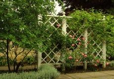 Rose rampicanti rosa Immagini Stock Libere da Diritti