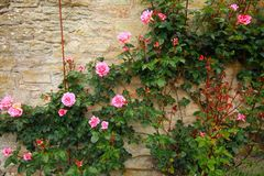 Rose rampicanti rosa sulla parete Immagini Stock Libere da Diritti
