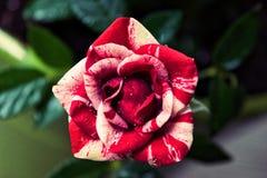 Rose rayée de canne de sucrerie mini images libres de droits