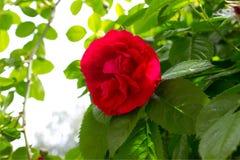 Rose Red Arkivfoto