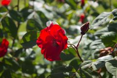 Rose Red fotografie stock libere da diritti