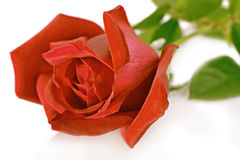 Rose red. On white background Stock Photography