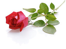Rose red. On white background Royalty Free Stock Photo
