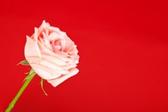 Rose on the red Royalty Free Stock Photo