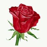 Rose Red Photo stock