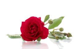Rose Red Stockfotos