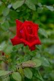 Rose Red Fotografia Stock Libera da Diritti