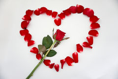Rose. Red background love flowers beautiful valentine& x27;s heart Stock Image