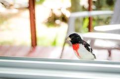 Rose Red Breasted Grosbeak- - Pheucticus-ludovicianus - sitzt auf meinem Fensterbrett und untersucht das Haus Lizenzfreie Stockbilder