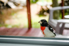 Rose Red Breasted Grosbeak- - Pheucticus-ludovicianus - sitzt auf meinem Fensterbrett und untersucht das Haus Stockbilder