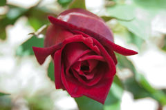 Rose. Red rose bud with green leaves Royalty Free Stock Photos