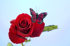 Rose Red Butterfly Isolated on Blue Stock Photo