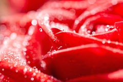 Rose of red colour Royalty Free Stock Images