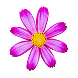 Rose red cosmos isolated Royalty Free Stock Images