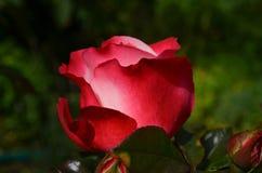Rose, Red, Flower, Blossom, Bloom Stock Image