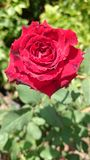 Rose. Red flower love plant background royalty free stock images