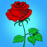 Rose red flower Royalty Free Stock Image