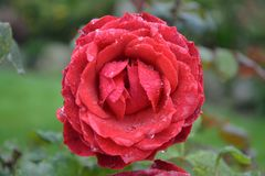 Rose, Red, Flower, Rose Family royalty free stock image