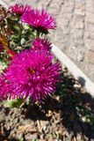 Rose red flowerhead of china aster. Rose red flower head of china aster Stock Photography