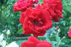 Rose red with fly Stock Photos