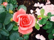 Rose. Red rose in garden Stock Photos