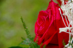 Rose. Red rose on a green background royalty free stock photo