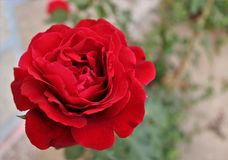 Rose red Stock Photo