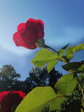 Rose. Red rose looking at the sun Stock Image