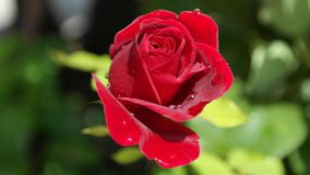 Rose, Red, Love, Dew, Flower, Plant Stock Images