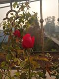 Rose red nature royalty free stock photography
