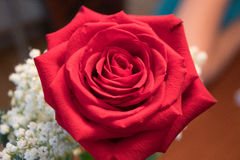Rose. This is a red rose offered to wife Stock Photos