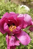 Bees collect pollen in spring. Rose red peony flowers Bees Spring Flower on zhe hill Peony of luoyang china Colors of spring Spring outing stock images