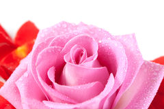 Rose with red petals Stock Photo