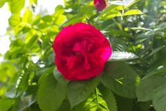 Rose red Stock Image