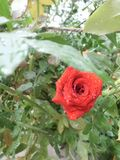 Rose in red stock image