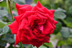 Rose red after the rain Stock Photos