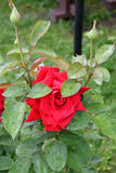 Rose red after the rain Royalty Free Stock Image