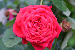 Rose red after the rain Royalty Free Stock Images