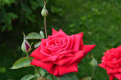 Rose red after the rain Stock Images