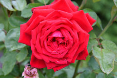 Rose red after the rain Royalty Free Stock Photos