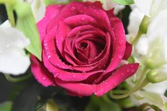 Rose red. Rainning at rose flowers bouquet Stock Images