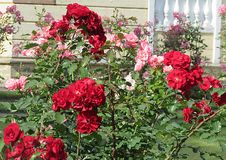 Rose red. Red rose on the branch in the Park, Bush Royalty Free Stock Images